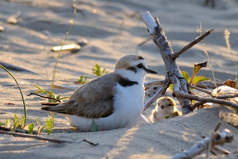 Il fratino, un importante piccolo abitante delle dune