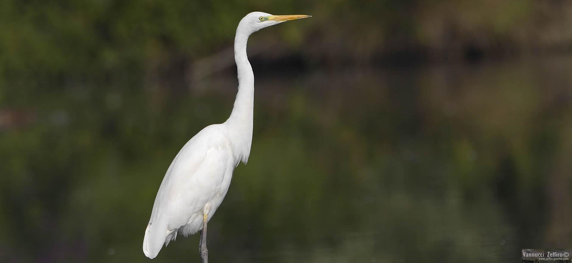 Ore 19:00 - Birdwatching nelle vasche di Maccarese